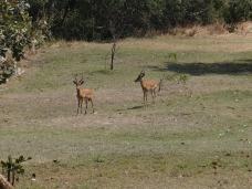 Impalas in de tuin