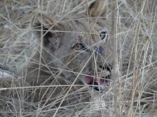 Lion Queen