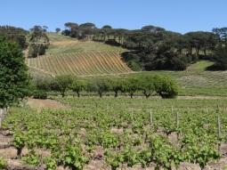 Wijnvelden