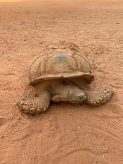 Huisschildpad Georges